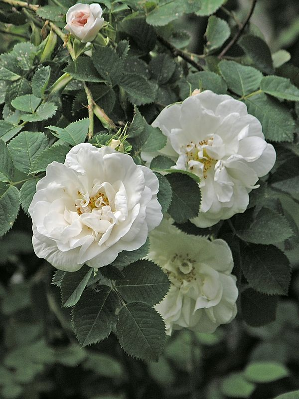 Rosa alba Maiden's Blush - aka Cuisse de Nymphe Emue.