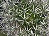 Same Allium up close.