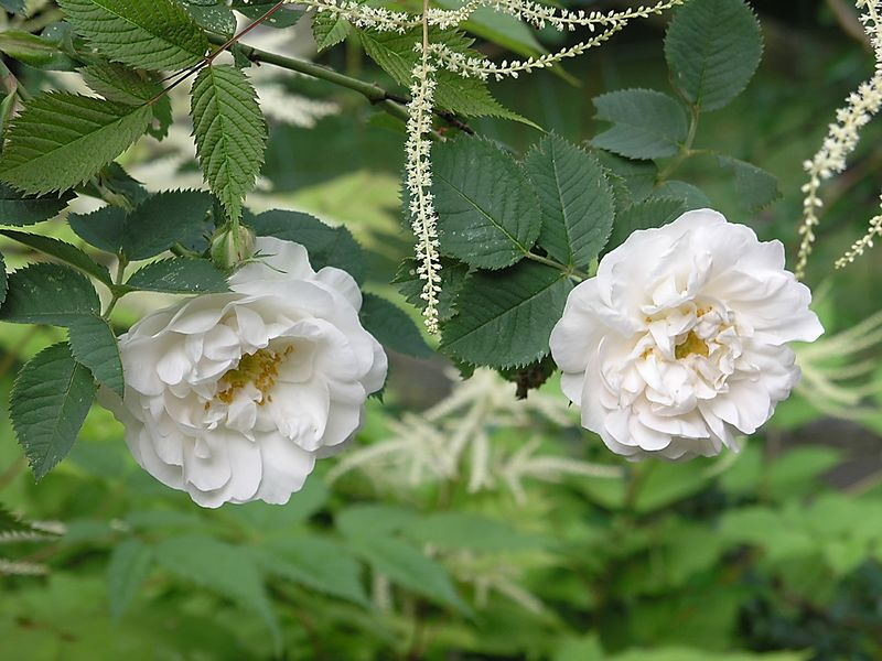Rosa Maiden's Blush with panicles of Aruncus (Goatsbeard).