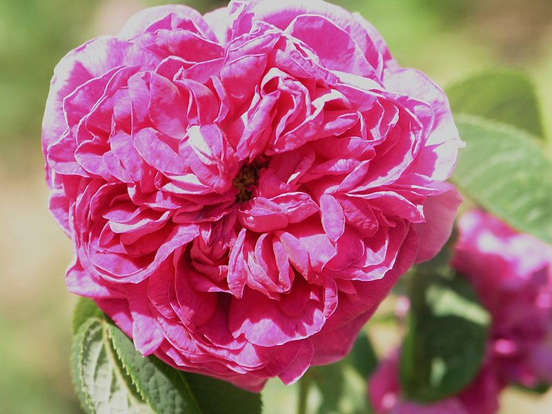 Marechal Davouste Moss rose.