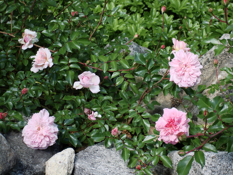 Etain rambler on the stonewall out by the mailbox. A lovely rose that thrives in the hot sun by the highway.