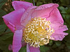Another single peony but with very different staminoids.