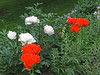 Papaver orientale Curlilocks and Festiva Maxima Peonies on June 14. Happy combination but not subtle.