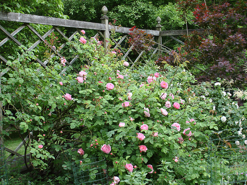 Another view of Constance Spry with red-leaved Smoke Bush and the rose Maiden's Blush on the far right.