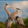 Each year the Great Blue Herons return to Wakodahatchee Wetlands in Delray Beach, FL to select their mates, build their nests and mate.