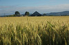Wheat fields of Yamhill County