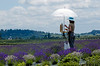 Oil painting workshop in Yamhill County Lavender Fields -- Willakenzie Farms