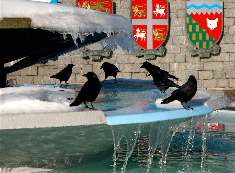 Crows in frozen fountain