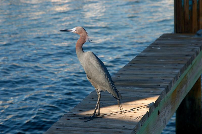 Small Blue Heron, on Key Largo