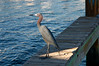 Small Blue Heron, on Key Largo