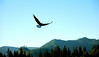 Eagle Soaring over Merrill Lake