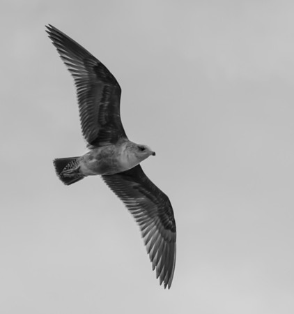 The Gulls of Baja