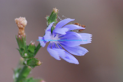 Chicory bloom.