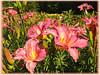 Corryton Pink