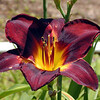 Obsidian suits this lily fine since it is black.
