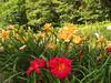 Grecian Sands & Scarlock Lilies