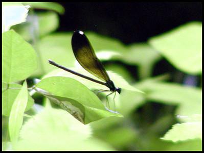 A damsel fly near the pond<br /> The Lily Barn in peak bloom<br /> Webb Road, Townsend, TN <br /> 6/16/07