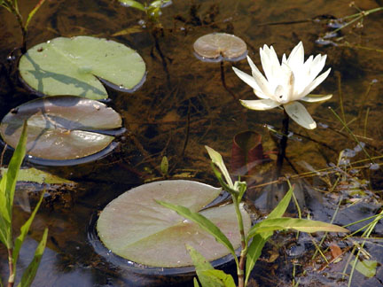 Water lily blossom and lily pads in the pond.<br /> The Lily Barn in Townsend, TN 6/16/07