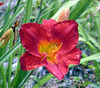 Caravan Red Lily at The Lily Barn in Townsend, TN<br /> 6/16/2007
