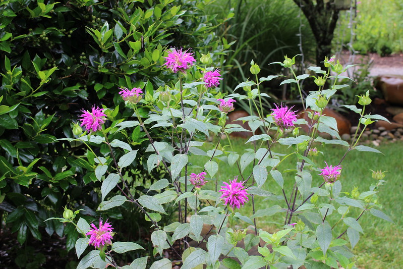Lori's Purple Bee Balm