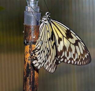 Magic WingsSC7795