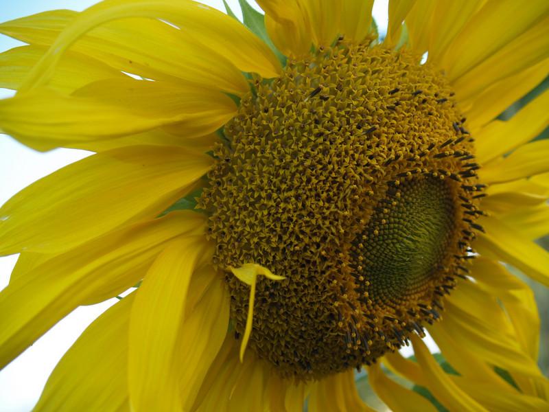 Sunflowers; Sept. in the garden