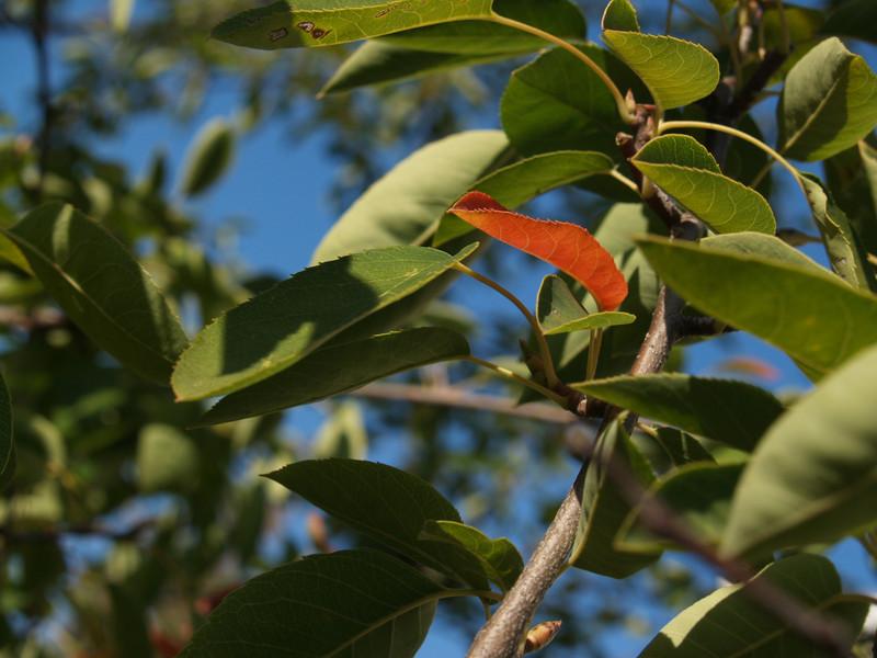 Serviceberry branch; September in the Maze Garden