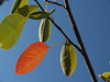 Serviceberry leaves; September in the Maze Garden
