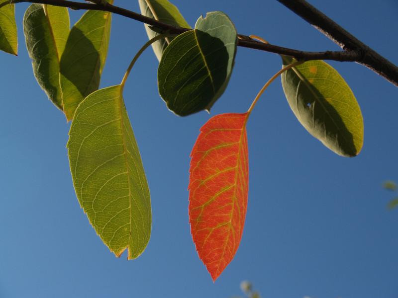 Serviceberry leaves; September in the Maze Garden