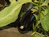 Eggplant; September