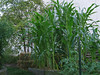 Corn crop in Maze Garden