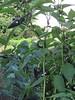 Peppers, Maze Garden