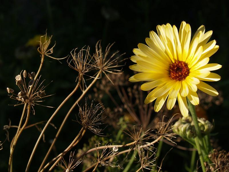 Calendula in September