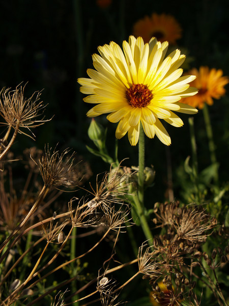 Calendula in September
