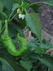 Pepper & blossom