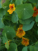 Nasturtiums; Sept. in the garden