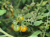 Tomatoes; September in the garden