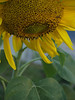 Sunflowers; Sept. in the garden