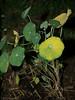 Nasturtium starts in front of garden