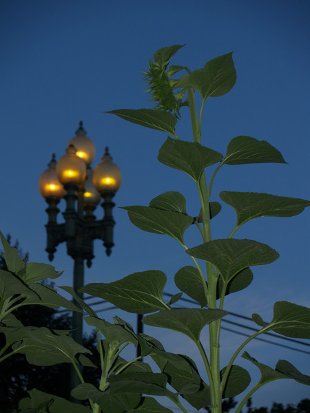 Sunflower in eve. rivaling the lamp; Maze Garden