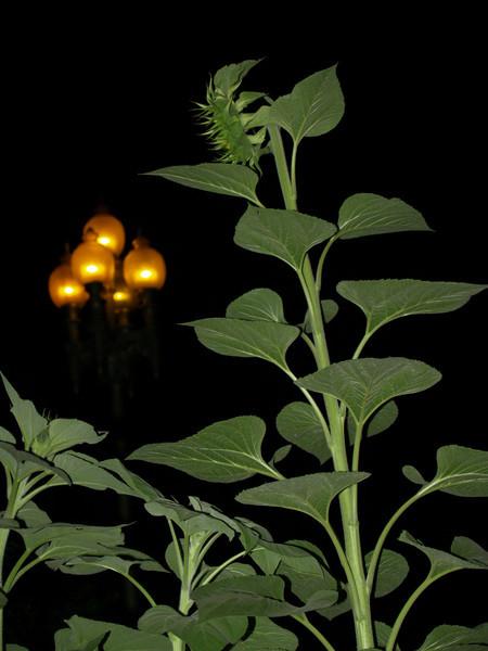 Sunflower at night
