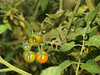Tomatoes ripening; September in the garden