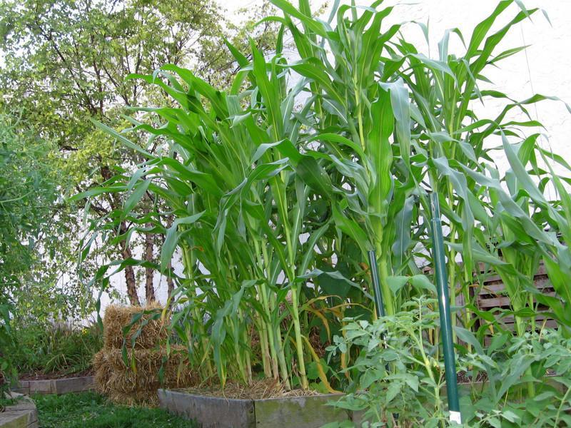 Corn crop in Maze Garden