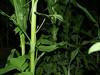 Pairing corn & beans for a nitrogen fix