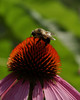 Bumblebee on purple coneflower (echinacea)   --8X10 format