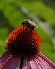 Bumblebee on purple coneflower (echinacea)   --8X10 format