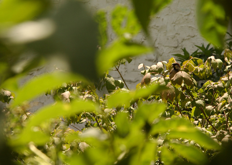 House sparrow serenading in the Maze Garden