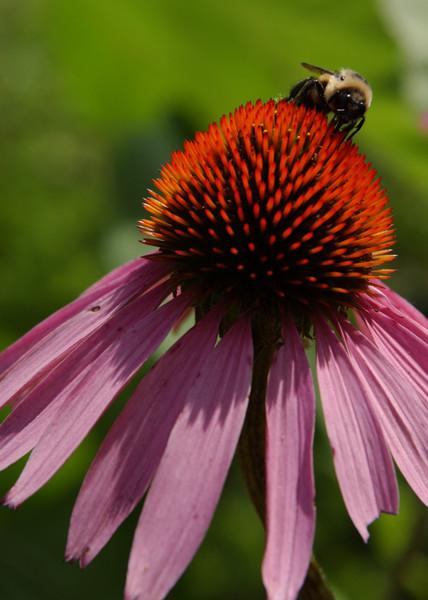 Bumblebee on purple coneflower (echinacea)   -- 5X7 format