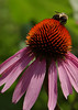 Bumblebee on purple coneflower (echinacea)   -- 5X7 format