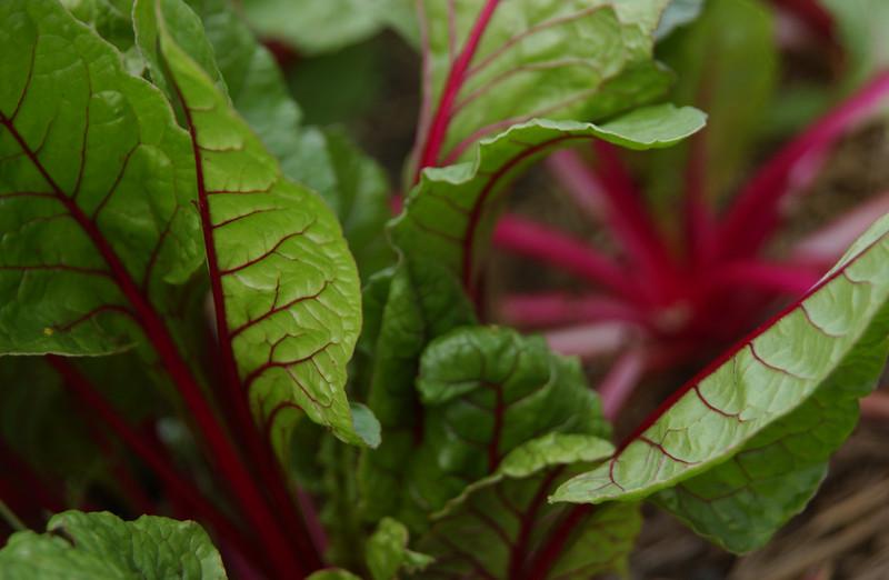Red beet tops